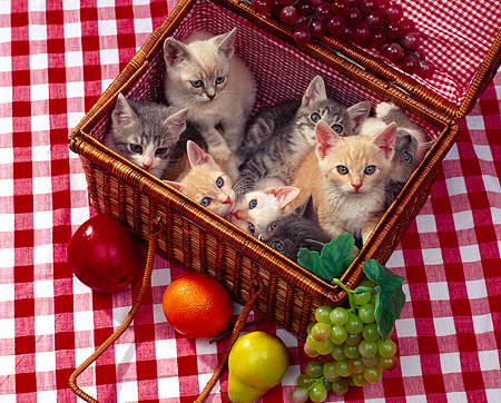 CAT 03 RK0844 21 © Kimball Stock Group Of Kittens Sitting In Picnic Basket With Fruit