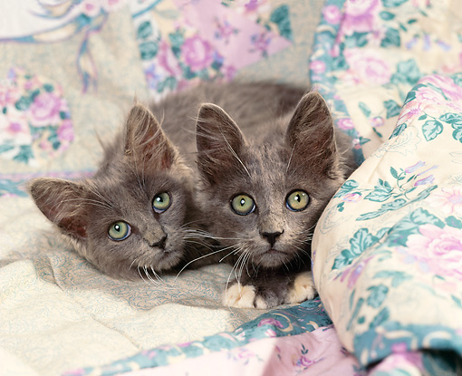 CAT 03 RK0845 03 © Kimball Stock Two Gray Kittens Laying On Floral Blanket