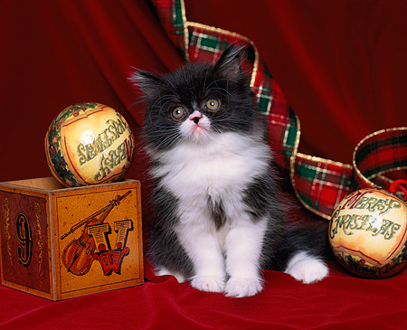 CAT 03 RK0852 03 © Kimball Stock Black And White Persian Sitting By Christmas Ornaments Facing Camera On Red Velvet