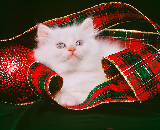 CAT 03 RK0854 01 © Kimball Stock Himalayan Kitten Laying By Christmas Decorations Studio