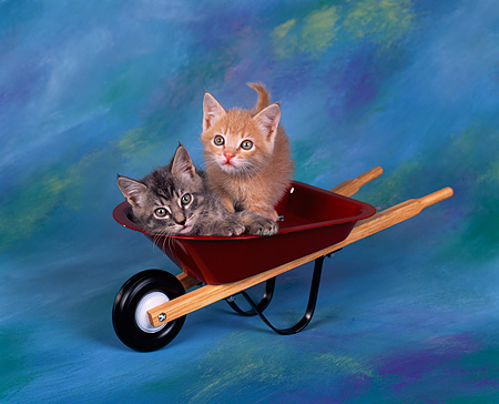 CAT 03 RK0867 04 © Kimball Stock Gray And Orange Kitten Sitting Together In Red Wheelbarrow