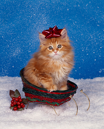CAT 03 RK0877 01 © Kimball Stock Orane Maine Coon Kitten Sitting In Sleigh Wearing Red Bow On Head By Misletoe