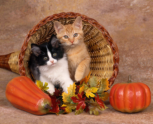 CAT 03 RK0880 03 © Kimball Stock Orange And Black And White Kittens Laying In Basket Horn With Pumpkins