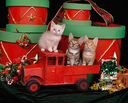 CAT 03 RK0889 07 © Kimball Stock Three Kittens Sitting On Red Truck By Christmas Decorations And Drums