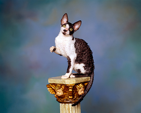 CAT 03 RK0898 04 © Kimball Stock Cornish Rex Kitten Sitting On Pedestal Mottled Background