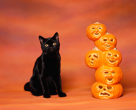 CAT 03 RK0911 05 © Kimball Stock Black American Shorthair Sitting Next To Pumpkins Heads Orange Background