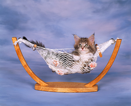CAT 03 RK0950 03 © Kimball Stock Maine Coon Kitten Laying In Hammock Blue Background
