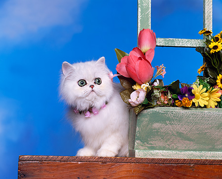 CAT 03 RK0993 08 © Kimball Stock Chinchilla Silver Persian Wearing Flower Collar Standing By Flower Planter Cloudy Blue Sky