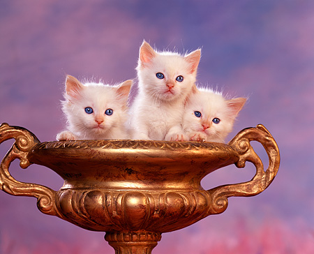 CAT 03 RK1042 08 © Kimball Stock Three White Kittens Sitting In Gold Vase Purple Mottled Background