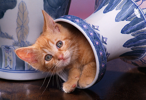 CAT 03 RK1046 04 © Kimball Stock Head Shot Of Orange Kitten Peeking Out Of Fallen Vase Facing Camera