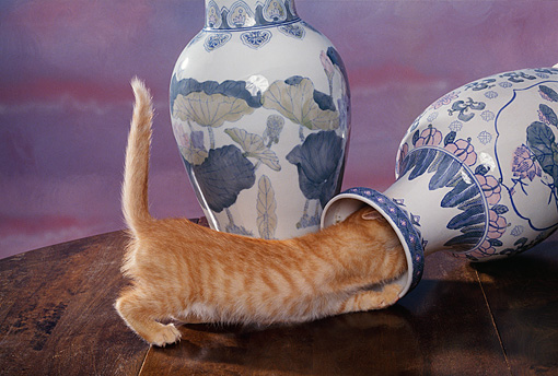 CAT 03 RK1048 02 © Kimball Stock Orange Kitten Playing Around With Fallen Vase