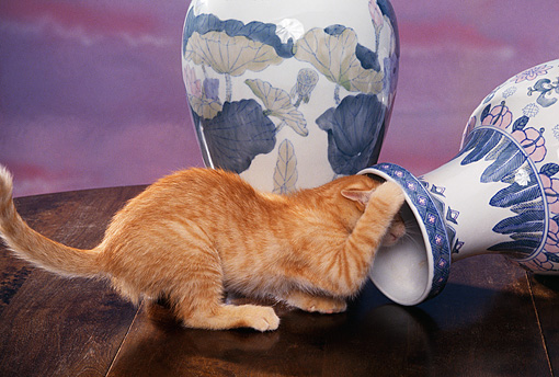 CAT 03 RK1048 03 © Kimball Stock Orange Kitten Playing Around With Fallen Vase