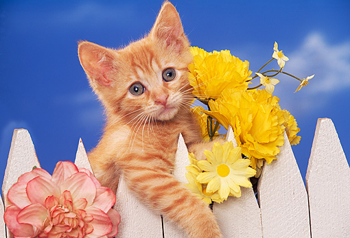 CAT 03 RK1050 02 © Kimball Stock Head Shot Of Orange Kitten Peeking Over White Fence With Flowers Facing Camera Blue Sky