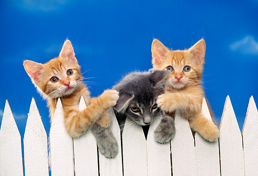 CAT 03 RK1055 09 © Kimball Stock Three Kittens Peeking Over White Fence Facing Camera Blue Sky Background