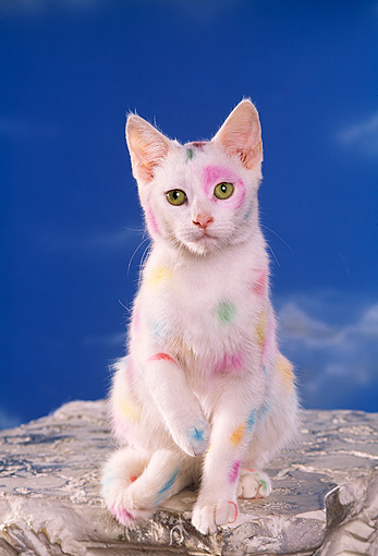 CAT 03 RK1120 06 © Kimball Stock White Kitten With Colorful Spots Blue Sky Background