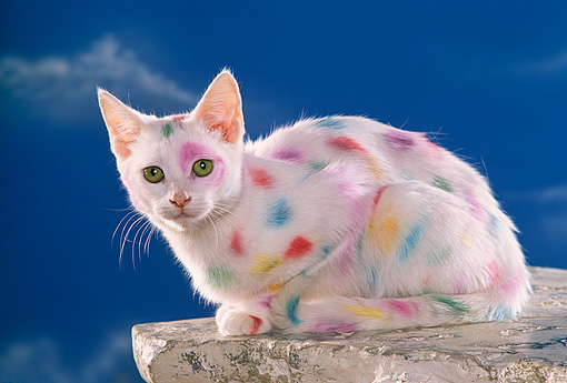 CAT 03 RK1120 17 © Kimball Stock White Kitten With Colorful Spots Blue Sky Background