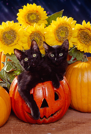 CAT 03 RK1123 06 © Kimball Stock Two Black Kittens Sitting In Pumpkin By Sunflowers Facing Camera