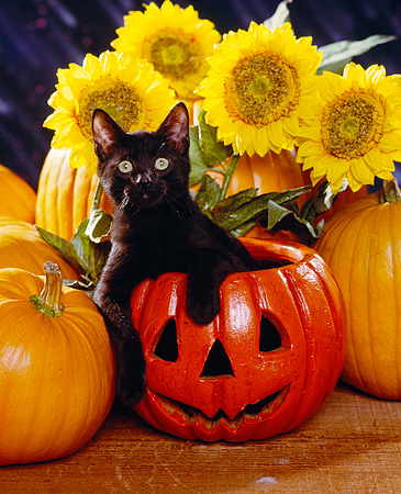 CAT 03 RK1124 05 © Kimball Stock Black Kitten Sitting In Pumpkin By Sunflowers Facing Camera