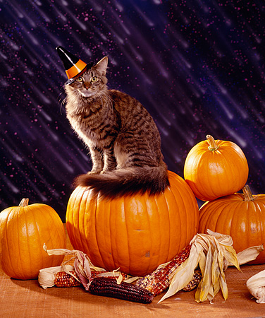 CAT 03 RK1127 11 © Kimball Stock Tabby Cat Sitting On Top Of Pumpkin Wearing Hat Rain Background