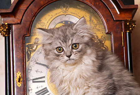 CAT 03 RK1181 03 © Kimball Stock Head Shot Of Silver Persian Sitting In Front Of Grandfather Clock
