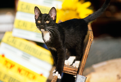 CAT 03 RK1189 03 © Kimball Stock Black And White Kitten Standing On Wooden Crate By Boxes Of Yellow Flowers