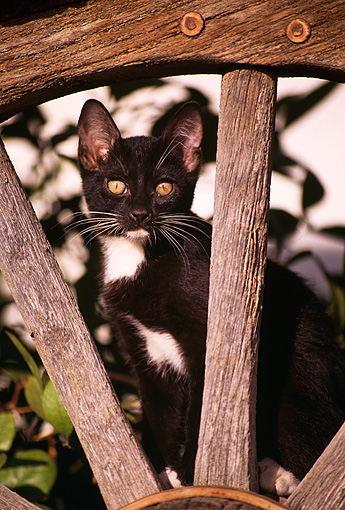 CAT 03 RK1206 15 © Kimball Stock Black And White Kitten Sitting In Wooden Wagon Wheel