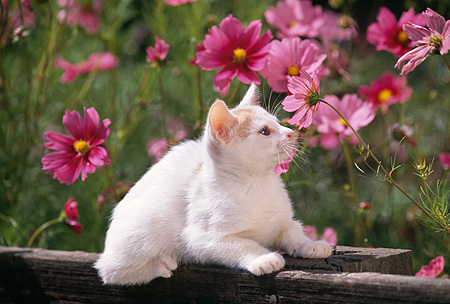 CAT 03 RK1224 01 © Kimball Stock White And Orange Kitten Sitting On Fence By Flowers