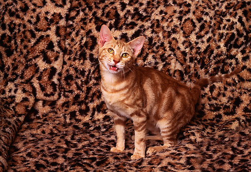 CAT 03 RK1246 02 © Kimball Stock Bengal Kitten Sitting On Leopard Print Blanket
