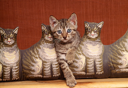 CAT 03 RK1254 09 © Kimball Stock Tawney Spotted Ocicat Kitten Sitting In Between Cat-Shaped Pillows Facing Camera