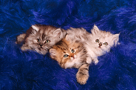 CAT 03 RK1265 01 © Kimball Stock Persian Kittens Laying Together On Blue Velvet Rug
