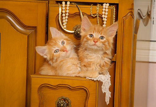 CAT 03 RK1337 02 © Kimball Stock Red Tabby Kittens Sitting Together In Wooden Drawer With Jewerly