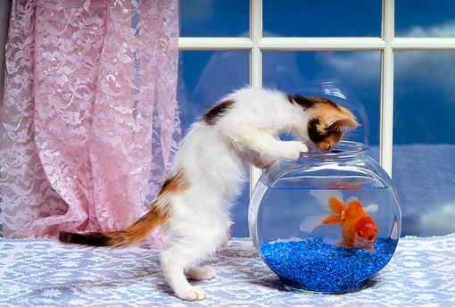 CAT 03 RK1399 03 © Kimball Stock Humorous Calico Kitten Peering Into Fish Bowl