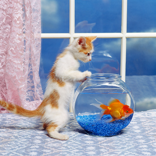 CAT 03 RK1401 07 © Kimball Stock Orange And White Kitten Looking At Goldfish In Bowl Pink Lace Curtains