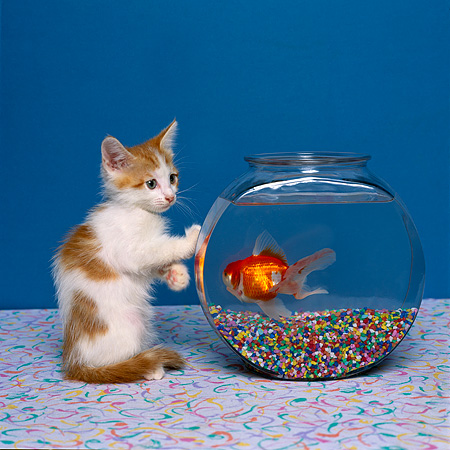 CAT 03 RK1404 03 © Kimball Stock Humorous Shot Of Orange And White Kitten Looking Down  At Goldfish In Fish Bowl