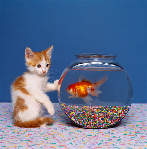CAT 03 RK1404 06 © Kimball Stock Humorous Shot Of Orange And White Kitten Looking Down  At Goldfish In Fish Bowl