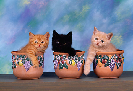 CAT 03 RK1418 08 © Kimball Stock Head Shots Of Kittens Sitting In Three Seperate Flower Pots