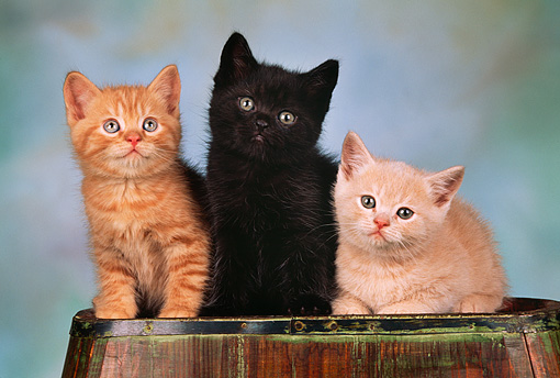 CAT 03 RK1419 05 © Kimball Stock Three Kittens Sitting Together On Top Of Barrel Facing Camera Mottled Background