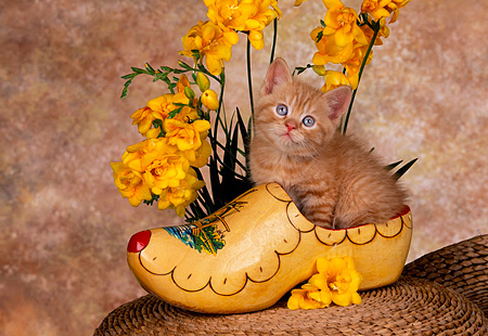 CAT 03 RK1430 07 © Kimball Stock Orange Kitten Sitting In Wooden Shoe With Yellow Flowers