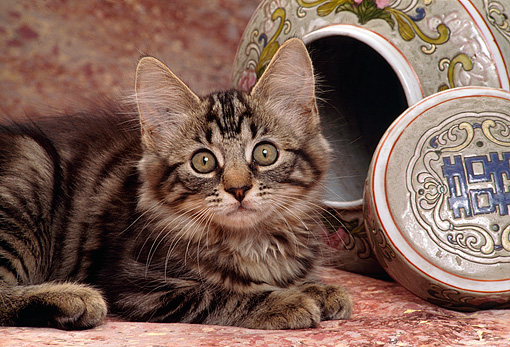 CAT 03 RK1446 22 © Kimball Stock Close Up Of Tabby Kitten Laying Next To Oriental Vase