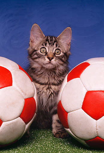 CAT 03 RK1459 10 © Kimball Stock Tabby Kitten Sitting In Between Two Soccer Balls