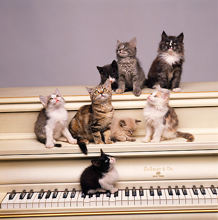 CAT 03 RK1516 11 © Kimball Stock A Group Of Kittens Sitting On Keyboard Of Piano