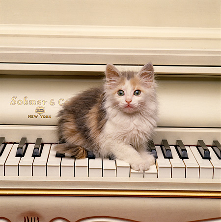 CAT 03 RK1518 01 © Kimball Stock Calico Kitten Sitting On Piano Keys
