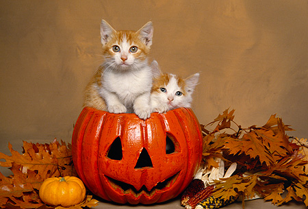 CAT 03 RK1538 02 © Kimball Stock Two Orange And White Kittens Sitting In Pumpkin By Fall Leaves