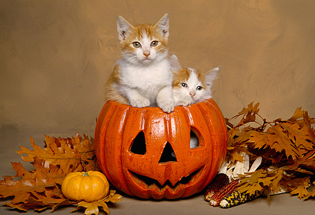 CAT 03 RK1538 03 © Kimball Stock Two Orange And White Kittens Sitting In Pumpkin By Fall Leaves