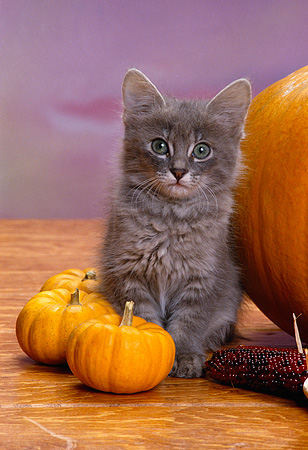 CAT 03 RK1548 12 © Kimball Stock Gray Kitten Sitting Next To Corn And Big And Small Pumpkins