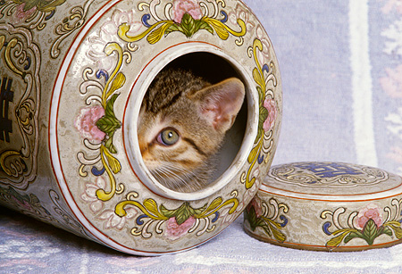 CAT 03 RK1580 01 © Kimball Stock Head Shot Of Tabby Kitten Peeking Out Of Vase