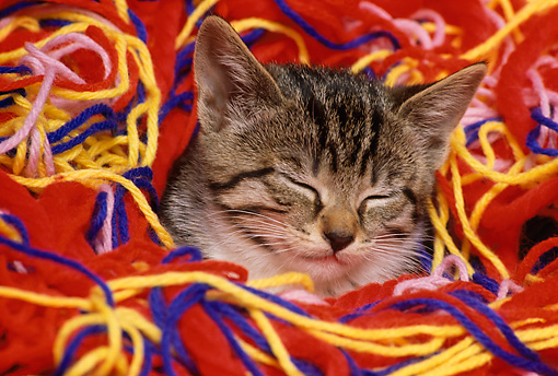 CAT 03 RK1586 31 © Kimball Stock Head Shot Of Tabby Kitten In Colorful Yarn