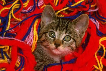 CAT 03 RK1586 44 © Kimball Stock Head Shot Of Tabby Kitten In Colorful Yarn