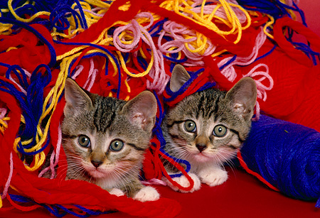 CAT 03 RK1587 01 © Kimball Stock Two Tabby Kittens Surrounded By Colorful Yarn
