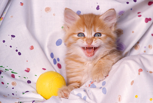 CAT 03 RK1600 05 © Kimball Stock Head Shot Of Orange Kitten In Painted Sheet With Yellow Ball